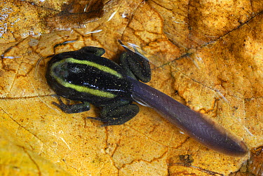 Dyeing Poison Frog (Dendrobates tinctorius) tadpole close to full transformation, Cauca, Colombia  -  Thomas Marent