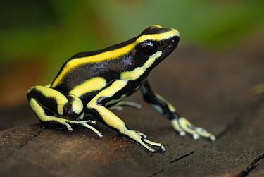 Dyeing Poison Frog (Dendrobates tinctorius), Cauca, Colombia  -  Thomas Marent