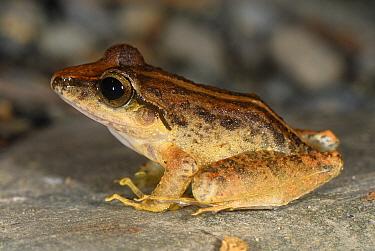 Southern Frog (Craugastor raniformis), San Cipriano, Cauca, Colombia  -  Thomas Marent