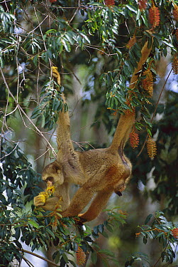Northern Muriqui (Brachyteles hypoxanthus) feeding on flowers, critically endangered species, largest new world monkey, Atlantic Forest, Minas Gerais, Brazil  -  Luciano Candisani