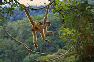 Northern Muriqui (Brachyteles hypoxanthus) mother with baby on her back, critically endangered species, largest new world monkey, Atlantic Forest, Minas Gerais, Brazil  -  Luciano Candisani