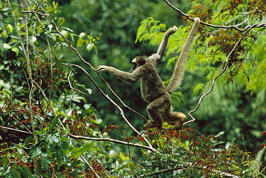 Northern Muriqui (Brachyteles hypoxanthus), male, climbing in canopy, critically endangered species, largest new world monkey, Atlantic Forest, Minas Gerais, Brazil  -  Luciano Candisani