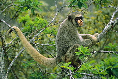 Northern Muriqui (Brachyteles hypoxanthus) critically endangered species, largest new world monkey, Atlantic Forest, Minas Gerais, Brazil  -  Luciano Candisani