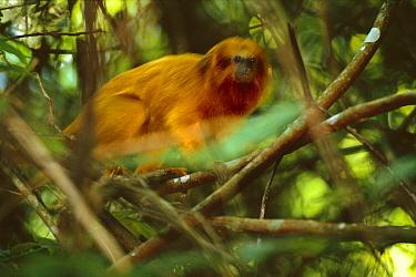 Golden Lion Tamarin (Leontopithecus rosalia) endangered species, Atlantic Forest, Rio De Janeiro, Brazil  -  Luciano Candisani