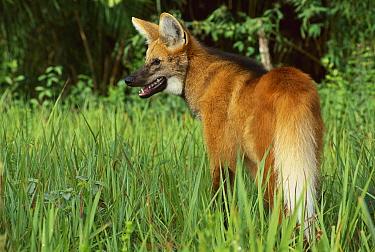 Maned Wolf (Chrysocyon brachyurus) portrait, Cerrado Ecosystem, Mato Grosso Do Sul, Brazil  -  Luciano Candisani