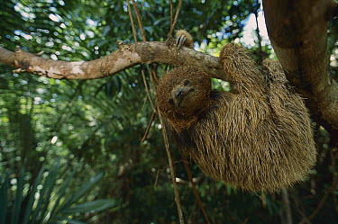 Maned Sloth (Bradypus torquatus) portrait, Atlantic Forest, Bahia, Brazil  -  Luciano Candisani