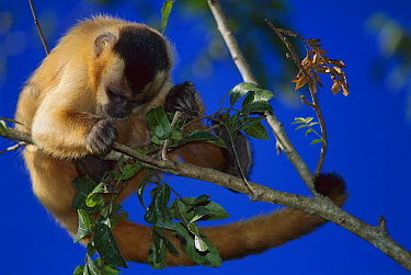 Brown Capuchin (Cebus apella) looking for insects, Cerrado Ecosystem, Mato Grosso Do Sul, Brazil  -  Luciano Candisani