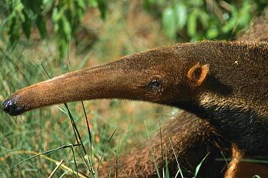 Giant Anteater (Myrmecophaga tridactyla) juvenile, Cerrado Ecosystem, Mato Grosso Do Sul, Brazil  -  Luciano Candisani