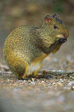 Brazilian Agouti (Dasyprocta leporina) eating a nut, Cerrado Ecosystem, Mato Grosso Do Sul, Brazil  -  Luciano Candisani