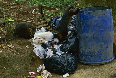 Coatimundi (Nasua nasua) pair looking for food in garbage can, Atlantic Forest, Itatiaia National Park, Brazil  -  Luciano Candisani