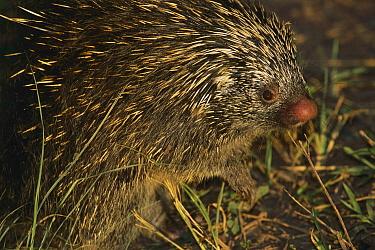 Brazilian Porcupine (Coendou prehensilis) portrait, Atlantic Forest, Brazil  -  Luciano Candisani