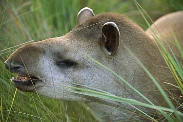 Brazilian Tapir (Tapirus terrestris) portrait, Cerrado Ecosystem, Mato Grosso Do Sul, Brazil  -  Luciano Candisani