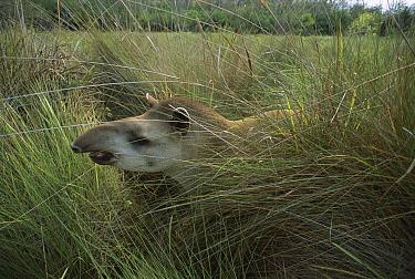 Brazilian Tapir (Tapirus terrestris) in grassland, Cerrado Ecosystem, Mato Grosso Do Sul, Brazil  -  Luciano Candisani
