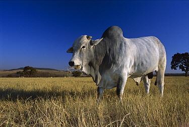 Domestic Cattle (Bos taurus), Zebu breed, bull chewing grass, Brazil  -  Luciano Candisani