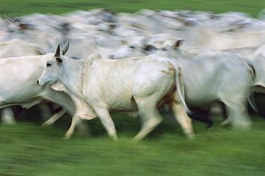 Domestic Cattle (Bos taurus), Zebu breed, herd running, Brazil  -  Luciano Candisani