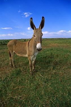Donkey (Equus asinus) portrait, Rondonia, Brazil  -  Luciano Candisani