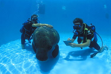 Antillean Manatee (Trichechus manatus manatus) in marine mammal research centre with divers taking measurments, Itamaraca Island, Pernambuco, Brazil  -  Luciano Candisani
