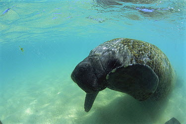 Antillean Manatee (Trichechus manatus manatus) tangled in a fishing net in coastal shallow waters, Brazil  -  Luciano Candisani