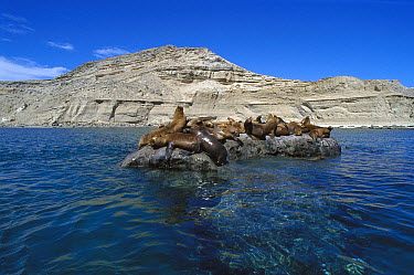 South American Sea Lion (Otaria flavescens) group resting on rocks, Valdes Peninsula, Patagonia, Argentina  -  Luciano Candisani
