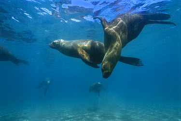 South American Sea Lion (Otaria flavescens) group swimming underwater, Valdes Peninsula, Patagonia, Argentina  -  Luciano Candisani