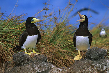 Brown Booby (Sula leucogaster) pair, Rocas Atoll, Brazil  -  Luciano Candisani