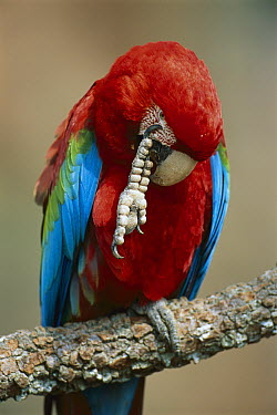 Red and Green Macaw (Ara chloroptera) scratching its face, Cerrado Ecosystem, Mato Grosso Do Sul, Brazil  -  Luciano Candisani
