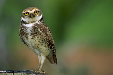 Burrowing Owl (Athene cunicularia) portrait, Rosa Beach, Brazil  -  Luciano Candisani