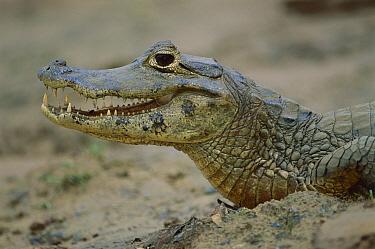 Jacare Caiman (Caiman yacare) thermoregulating, Pantanal Ecosystem, Brazil  -  Luciano Candisani