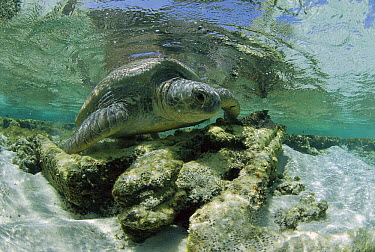Green Sea Turtle (Chelonia mydas) female leaving the beach after egg laying, Rocas Atoll, Brazil  -  Luciano Candisani