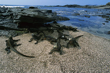 Marine Iguana (Amblyrhynchus cristatus) group on the beach, Galapagos Islands, Ecuador  -  Luciano Candisani