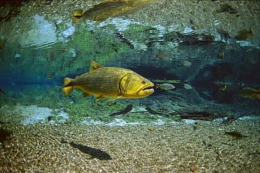 Dourado (Salminus brasiliensis) swimming in the Prata River, Cerrado Ecosystem, Brazil  -  Luciano Candisani