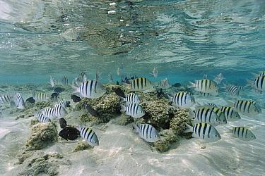 Sergeant Major Damselfish (Abudefduf saxatilis) schooling in shallow water reef, Rocas Atoll, Brazil  -  Luciano Candisani