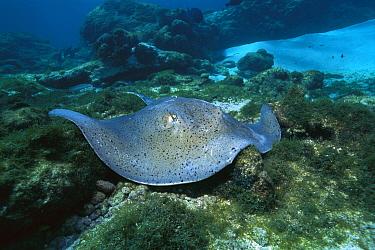 Southern Stingray (Dasyatis americana) swimming along ocean floor, Rocas Atoll, Brazil  -  Luciano Candisani