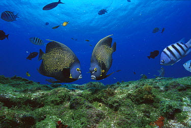 French Angelfish (Pomacanthus paru) pair, Rocas Atoll, Brazil  -  Luciano Candisani