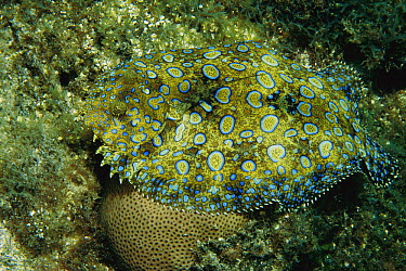 Flowery Flounder (Bothus mancus) camouflaged against ocean floor, Rocas Atoll, Brazil  -  Luciano Candisani