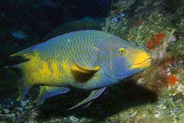 Spanish Hogfish (Bodianus rufus), Laje De Santos, Brazil  -  Luciano Candisani