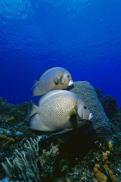 Gray Angelfish (Pomacanthus arcuatus) pair, Cozumel Island, Mexico  -  Luciano Candisani