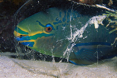 Parrotfish (Sparisoma vetula) sleeps in mucus bubble for defense, Caribbean Sea, Bonaire Island, Netherlands Antilles  -  Luciano Candisani