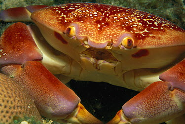 Batwing Coral Crab (Carpilius corallinus) face, Rocas Atoll, Brazil  -  Luciano Candisani