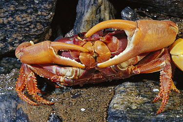 Yellow and Purple Land Crab (Gecarcinus lagostoma) in defensive position, Rocas Atoll, Brazil  -  Luciano Candisani