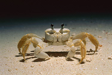 Ghost Crab (Ocypode quadrata) walking on the beach at night, Rocas Atoll, Brazil  -  Luciano Candisani