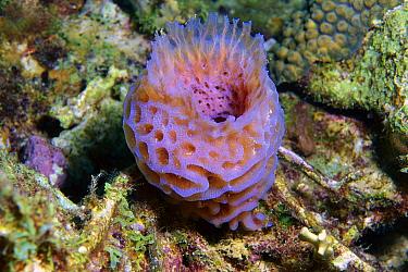 Azure Vase Sponge (Callyspongia plicifera), Bonaire Island, Netherlands Antilles  -  Luciano Candisani