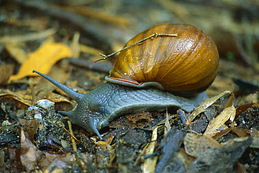 Snail crawling over forest floor, Atlantic Forest Ecosystem, Rio De Janeiro, Brazil  -  Luciano Candisani
