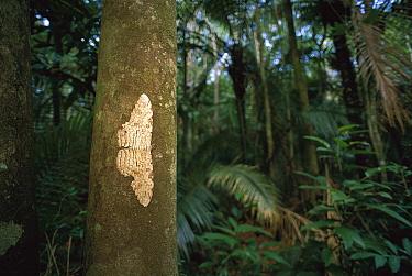Moth, Atlantic Forest Ecosystem, Rio De Janeiro, Brazil  -  Luciano Candisani