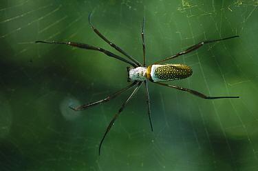 Spider, Atlantic Forest Ecosystem, Rio De Janeiro, Brazil  -  Luciano Candisani