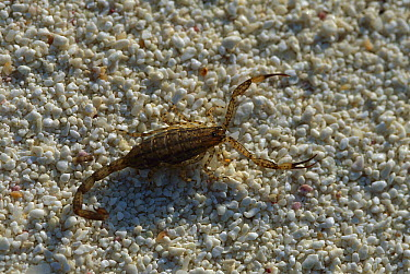 Lesser Brown Scorpion (Isometrus maculatus) walking on sandy beach, Rocas Atoll, Brazil  -  Luciano Candisani
