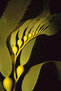 Giant Kelp (Macrocystis pyrifera) detail showing pneumatocysts and blades, Patagonia, Chile  -  Luciano Candisani