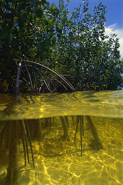 Mangrove (Rhizophoraceae) forest, Cancun, Mexico  -  Luciano Candisani