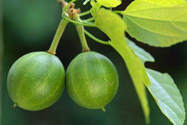 Watermelon (Citrullus lanatus) eaten by Muriqui (Brachyteles sp), Atlantic Forest, Minas Gerais, Brazil  -  Luciano Candisani