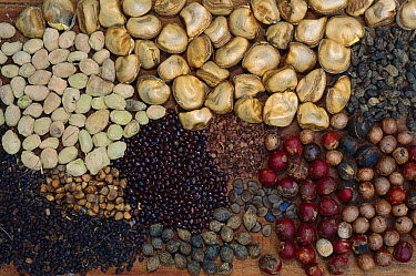 Variety of Atlantic Forest seeds, Caratinga Biological Station, Minas Gerais, Brazil  -  Luciano Candisani
